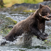 Buy canvas prints of Grizzly bear running with Salmon by Kirk Hewlett