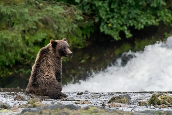 Grizzly Bear Contemplation Canvas print by Kirk Hewlett
