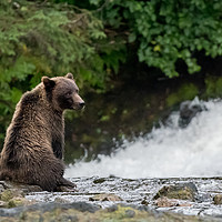Buy canvas prints of Grizzly Bear Contemplation by Kirk Hewlett