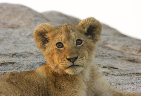 Lion Cub Canvas Print by Nathalie Hales