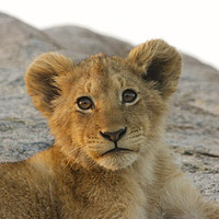 Buy canvas prints of Lion Cub by Nathalie Hales