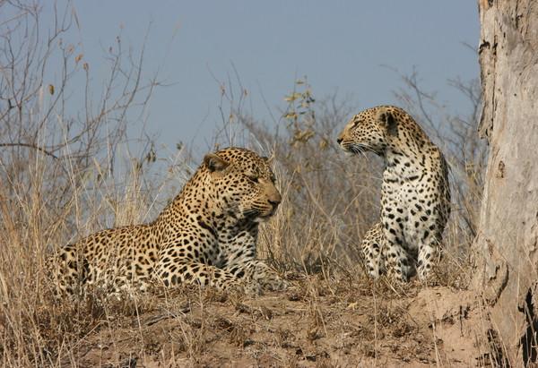 Leopard Couple Canvas Print by Nathalie Hales
