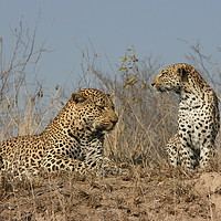 Buy canvas prints of Leopard Couple by Nathalie Hales