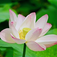 Buy canvas prints of Lotus Flower at the Old Summer Palace Beijing by Nathalie Hales