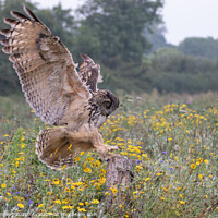 Buy canvas prints of Eurasian eagle owl  by Holly Burgess