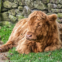 Buy canvas prints of Highland Cow, Baslow Edge by Holly Burgess