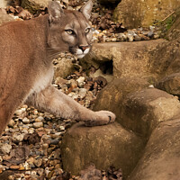 Buy canvas prints of Cougar Puma Wild Cat by Holly Burgess