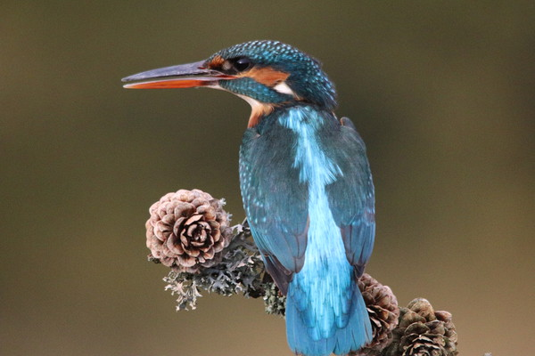 Kingfisher  Canvas print by Stephen Herrell