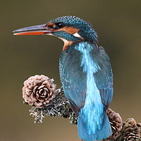 Buy canvas prints of Kingfisher  by Stephen Herrell
