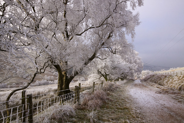 Trees covered in hoar frost  Canvas Print by Jenny Hibbert