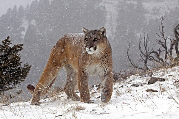 Cougar up in the mountains, North America Framed Print by Jenny Hibbert