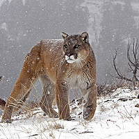 Buy canvas prints of Cougar up in the mountains, North America by Jenny Hibbert