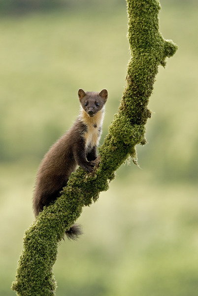 Pinemarten kitten on a mossy branch, Western Isles Framed Print by Jenny Hibbert