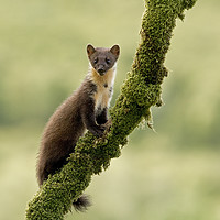 Buy canvas prints of Pinemarten kitten on a mossy branch, Western Isles by Jenny Hibbert