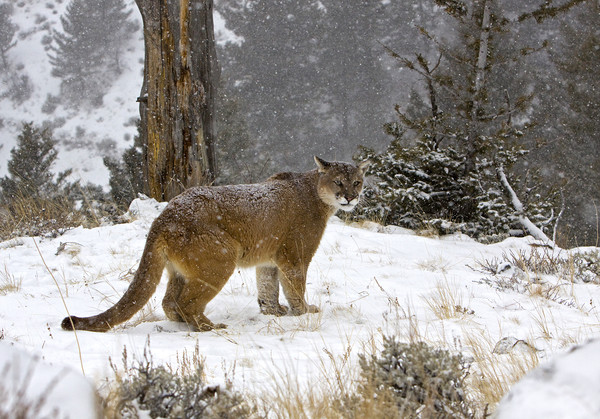 Cougar out in the snow North America Framed Print by Jenny Hibbert