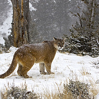 Buy canvas prints of Cougar out in the snow North America by Jenny Hibbert