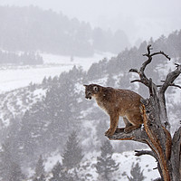 Buy canvas prints of Cougar sitting in a tree, North America by Jenny Hibbert