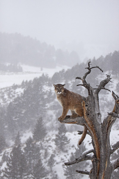 Cougar high up a tree in mountains Canvas Print by Jenny Hibbert