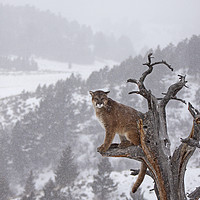 Buy canvas prints of Cougar high up a tree in mountains by Jenny Hibbert