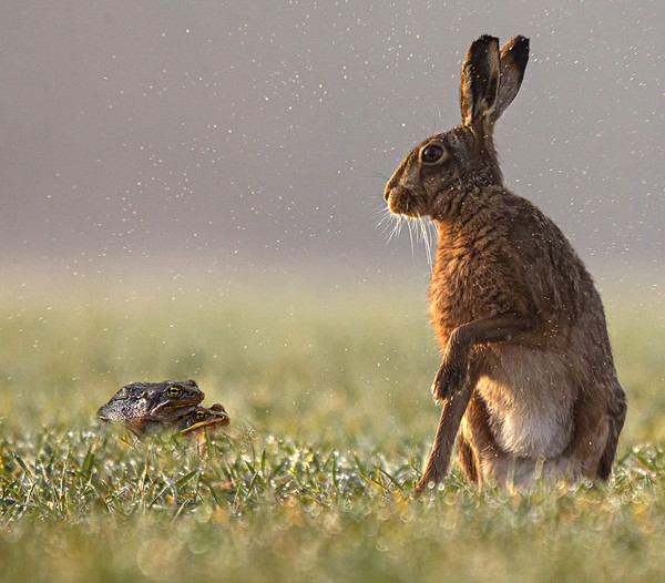 Hare taken by surprise Canvas Print by Jenny Hibbert