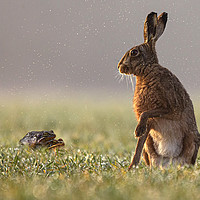 Buy canvas prints of Hare taken by surprise by Jenny Hibbert