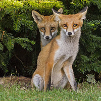 Buy canvas prints of Urban Red Fox cubs by Jenny Hibbert