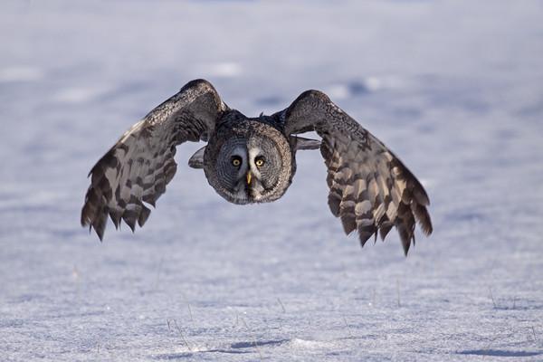 Great grey Owl hunting Framed Print by Jenny Hibbert