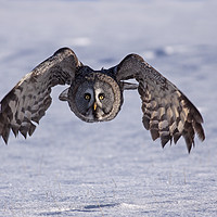 Buy canvas prints of Great grey Owl hunting by Jenny Hibbert