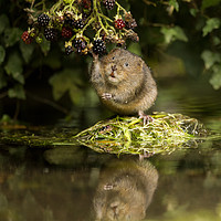 Buy canvas prints of Water Vole caught in the act by Jenny Hibbert