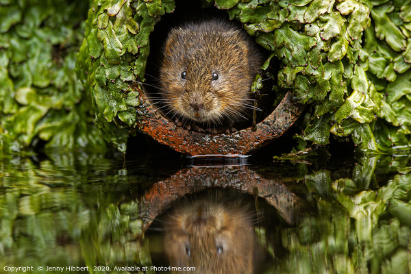 Water Vole peeping out of a pipe Framed Print by Jenny Hibbert