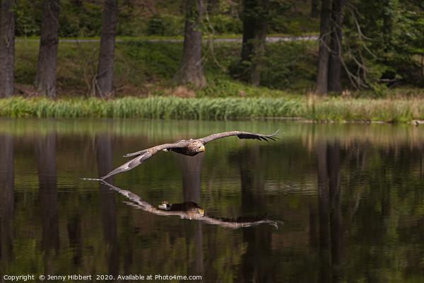 White Tailed Eagle skims the lake Framed Print by Jenny Hibbert