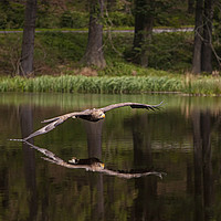 Buy canvas prints of White Tailed Eagle skims the lake by Jenny Hibbert