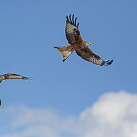 Buy canvas prints of Two Red Kites in flight by Jenny Hibbert