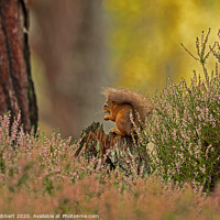 Buy canvas prints of Red Squirrel framed by the heather by Jenny Hibbert