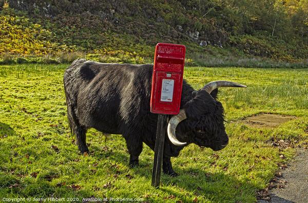 Highland cow enjoying a scratch against a post box Canvas Print by Jenny Hibbert