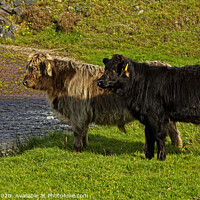 Buy canvas prints of Two young Highland cattle reluctant to go through the stream by Jenny Hibbert
