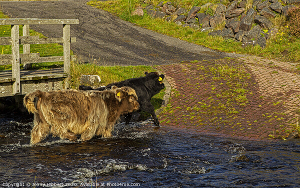 Young Highland cattle crossing the stream Canvas Print by Jenny Hibbert