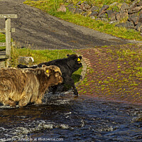 Buy canvas prints of Young Highland cattle crossing the stream by Jenny Hibbert