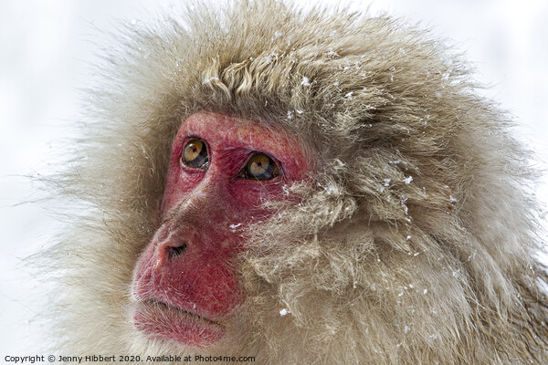Close up of Snow Monkey Print by Jenny Hibbert