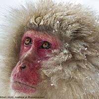 Buy canvas prints of Close up of Snow Monkey by Jenny Hibbert