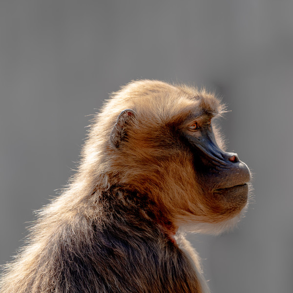 Gelada Profiled Framed Print by DiFigiano Photography