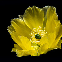 Buy canvas prints of Angel wing Cactus Flower. by Monica McMahon