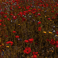 Buy canvas prints of A field of red  flowering poppies  inCornwall  by kathy white