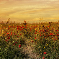 Buy canvas prints of red poppies,Sunset on a field of poppies in cornwa by kathy white