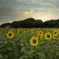Buy canvas prints of sunflowers Cornish sunflowers at sunset by kathy white