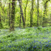 Buy canvas prints of Cornwall Bluebells,Bluebell Wood,English Bluebell  by kathy white