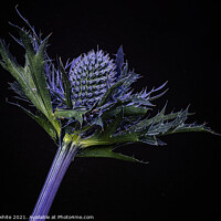 Buy canvas prints of Sea Holly, Sea Holly  Close up with black back gro by kathy white