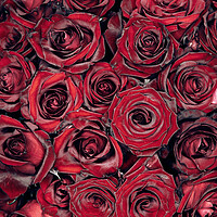 Buy canvas prints of Red Roses by Steffen Gierok