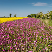Buy canvas prints of Yellow Oilseed Rape and Red Campion by Richard Laidler