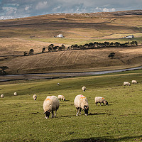 Buy canvas prints of Early Spring Grazing, Upper Teesdale by Richard Laidler